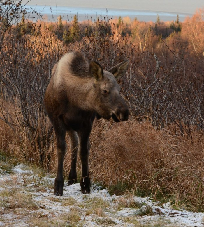 The 2nd moose encounter of my short time in AK