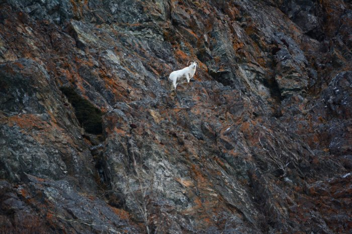 A male dall sheep standing on a jut out rock on the cliffs of the Turnagain Arm