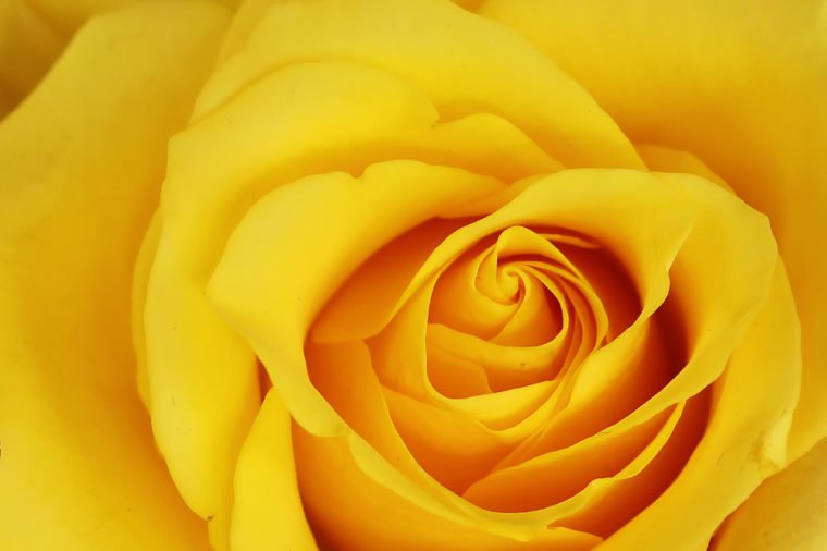 yellow-rose-760x506