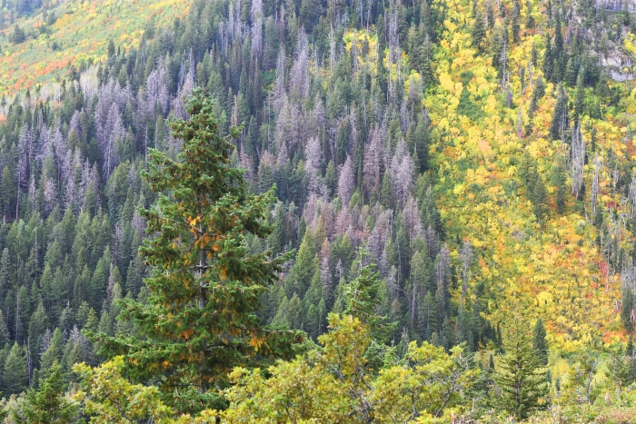 The trees are turning in the Uinta mountains of Utah. A drive on the Alpine Loop provides lots of fall scenery.